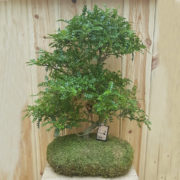 bonsai zanthoxylum