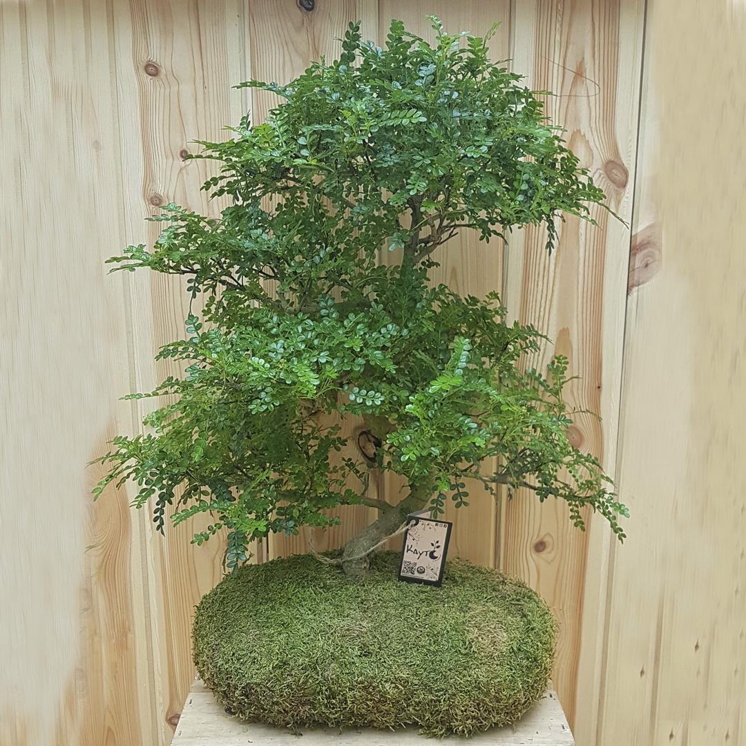 bonsai zanthoxylum