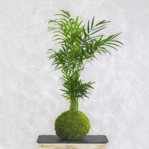 kokedama palmera